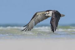 Osprey (PeterBrannon) Tags: bird birdofprey florida nature osprey pandionhaliaetus pinellascounty raptor wildlife