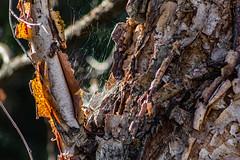 Peel (davidseibold) Tags: america backyard bakersfield california jfflickr kerncounty photosbydavid plant platoct postedonflickr riverbirch spiderweb tree unitedstates usa