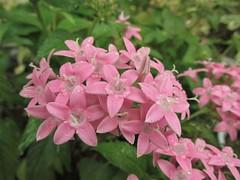 Pentas 15:35 (dnktb812) Tags: pentas flower