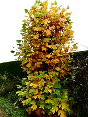 My Tulip Tree 29.10.19 (ericy202) Tags: tulip tree autumn pruned bare trunk spring yellow leaves hedge