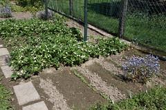 My garden (LI) (dididumm) Tags: garden seventhyear spring prepared growing green vegetables strawberries forgetmenot vergissmeinnicht erdbeeren gemüse grün wachsen vorbereitet frühling siebtesjahr garten
