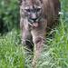 Puma showing tongue