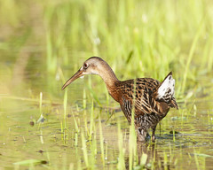 King Rail (Robin Arnold) Tags: kingrail wildlife animal nature bird shorebird ohio marshbird marshes
