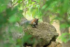 Gray Fox Kit (thebanjobert) Tags: fox kit pup wildlife nature wild