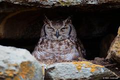 Nesting Spotted Eagle-Owl (leendert3) Tags: leonmolenaar southafrica krugernationalpark wildlife wilderness wildanimal nature naturereserve naturalhabitat bird spottedeagleowl ngc naturethroughthelens npc