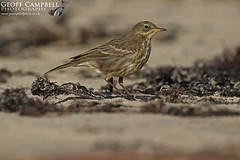 Rock Pipit (Anthus petrosus) (gcampbellphoto) Tags: anthus petrosus rock pipit bird passerine nature wildlife gcampbellphoto north antrim northern ireland outdoor animal