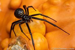 Trick or Treat (Tom's Macro and Nature Photographs) Tags: macrophotography arachnids spiders blackwidow halloween pumpkin macro latrodectushesperus latrodectus arachtober