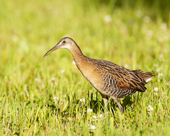 King Rail (Robin Arnold) Tags: kingrail bird shorebird wildlife nature animal marshbird marshes ohio