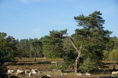 Schapen op de heide 31-10-19 (Bas van Oorschot) Tags: heide heather shapen sheep