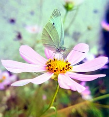 Last day of October (Ioannis Ks) Tags: butterfly cosmos flower garden autumn nature crete