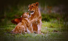 AFRICA - Serengeti - Lion: Mom and Baby (Jacques Rollet (Little Available)) Tags: africa serengeti animal lion nature wildanimal