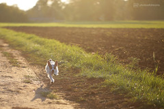 paula's here again (photos4dreams) Tags: p4d photos4dreams photos4dreamz vergau canoneos5dmark3 paula dog brothers jackie jackrussel hund puppy hündchen klein small cute