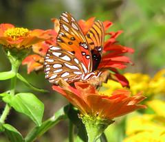 Gulf fritillary in the zinnias - this week (Vicki's Nature) Tags: gulffritillary orange butterfly spots yard georgia vickisnature canon s5 3636 october fall halloween flowers blossoms zinnias