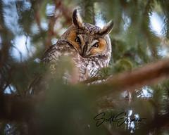 "Happy ""Owl-a-Ween"" 👻🎃🍁 (DTT67) Tags: longearedowl owl leo halloween bird 500mmii 1dxmkii canon1dxmkii canon nature wildlife"