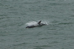 IMG_2863 (monika.carrie) Tags: monikacarrie wildlife scotland aberdeen dolphins dolphin cetacean mammal