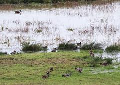 Wigeons and Shoveler (Malhen227) Tags: bird birds duck ducks waterfowl wetlands wigeon europeanwigeon shoveler pulborough sussex