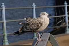Great Black-Backed Gull (Edwyn Anderton) Tags: gull greatblackbackedgull morecambe morecambebay
