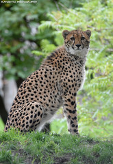 Cheetah - Allwetterzoo Munster (Mandenno photography) Tags: animal animals dierenpark dierentuin dieren cheetah allwetterzoomunster allwetterzoo munster germany duitsland bigcat big cat cats nature natgeo natgeographic discovery bbcearth bbc bigcats