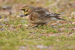 Shore Lark Eremophila alpestris Dungeness RSPB also known as Horned Lark (USA) (GrahamParryWildlife) Tags: macro closeup canon mk2 7d 150600 sigma grahamparrywildlife uk kent outdoor photo flickr new sunlight depth field up dof kentwildlife marsh still digital nature bird first camoflaged beach shore dungeness puddles lark rare