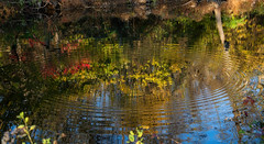 Ripples (Millie Cruz (On and Off)) Tags: water leaf canal unioncanaltunnelpark lebanonpennsylvania reflections trees plants vegetation colorful autumn fall yellow orange abstract ripples canoneos5dmarkiii ef24105mmf4lisusm