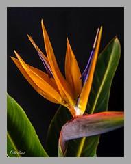 "Strelitzia reginae (octbellini) Tags: naranja ""lookingcloseonfriday"" orange nature flower"