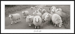 Wild life (Jean-Marc Vogel Photography) Tags: sheep mouton angleterre derbyshire england wild life