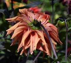 Dahlia #2 (MJ Harbey) Tags: dahlia asterid orangedahlia eudicot flower nikond3300 d3300 nikon northamptonshire nationaltrust helianthodae asteraceae asterales canonsashby