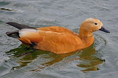 Огарь, Tadorna ferruginea, Ruddy Shelduck (Oleg Nomad) Tags: огарь tadornaferruginea ruddyshelduck птицы москва bird aves moscow