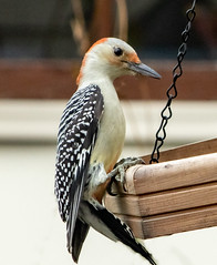 Red-bellied Woodpecker (mahar15) Tags: bird outdoors woodpecker wildlife femalewoodpecker redbelliedwoodpecker nature