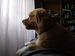 Roni (Santiago Stucchi Portocarrero) Tags: roni perro can cane chien hund hound dog santiagostucchiportocarrero