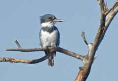 Belted Kingfisher - LaSalle Landing - © Candace Giles - Oct 21, 2019
