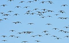 Canada Goose - Kings Bend Park - © Dick Horsey - Oct 23, 2019