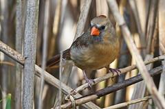 Northern Cardinal (F) - Tinker Nature Park - © Dick Horsey - Oct 23, 2019