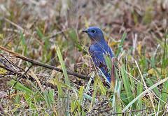 Eastern Bluebird - Tinker Nature Park - © Dick Horsey - Oct 23, 2019