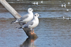 Bonapartes Gull - LaSalle Landing - © Candace Giles - Oct 26, 2019