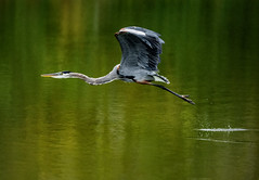 Takeoff (somewheredowntheroadphoto) Tags: bird light shadow color colorful water birds flying flight heron fly animals animal takeoff liftoff