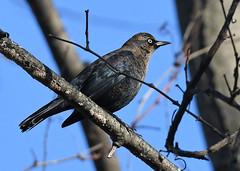 Rusty Blackbird - Mendon Ponds - © Dick Horsey - Oct 28, 2019