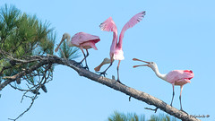 Out of my space bud... (Earl Reinink) Tags: bird animal roseatespoonbill spoonbill fight perch branch tree sky fighting outdoors wildlife nature earlreinink dtduoudaea