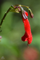 DSC_9430 ~ Red Mallow Flower Bok Tower Garden (stephanie.ovdiyenko) Tags: flower tropicalflower garden boktowergarden macro redflower mallow