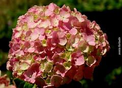 Quinta-flower (sonia furtado) Tags: quintaflower flower flor hortência guaramiranga ce ne brasil brazil soniafurtado