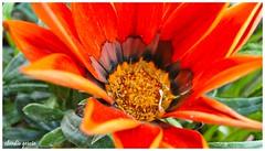 En el centro (Claudio Andrés García) Tags: flores flowers orange primavera springs jardín garden macro cybershot fotografía photography naturaleza nature flickr