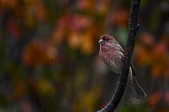 House Finch - Male (dbifulco) Tags: bird branch fallfoliage housefinch male nature newjersey rain raining wildlife