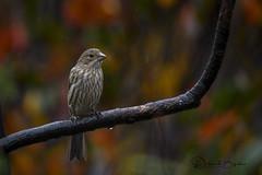 House Finch - Female (dbifulco) Tags: bird branch fallfoliage female housefinch nature newjersey rain raining wildlife