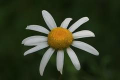 Flower (Håkan Jylhä (Thanks for +1000000 views)) Tags: raindrop droppe gul yellow vit white blomma flower rx10iv sony jylhä håkan