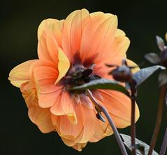 Dahlia #1 (MJ Harbey) Tags: dahlia flower eudicot asterid asterales asteraceae helianthodae orangedahlia canonsashby northamptonshire nationaltrust nikon d3300 nikond3300