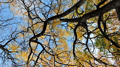 2019-10-18 Trees (beranekp) Tags: czech teplice teplitz botanik botany botanic garden garten herbarium herbary herbář gymnocladus tree baum autumn herbst