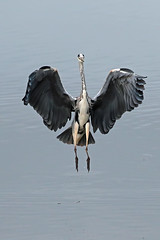 grey heron (DODO 1959) Tags: wildlife greyheron animal avian fauna birds water landing outdoor nature canon 100400mmmk2 7dmk2 carmarthenshire wales wwt llanelli michaelpowellhide