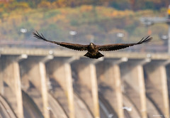 Classic Conowingo (swmartz) Tags: nikon nature maryland october 2019 200500mm d610 wildlife eagle baldeagle birds bird conowingo dam outdoors susquehanna river