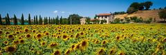 Sonnenblumen Toskana (markusgeisse) Tags: toskana tuscany sonnenblumen sommer gelb yellow zypressen feld field haus house grün green blau blue himmel panorama sony alpha