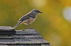 Northern Mockingbird - Kings Bend Park - © Dick Horsey - Oct 23, 2019